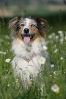 Australian shepherd dog between flowers