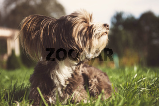 Chinese crested dog on a walk.