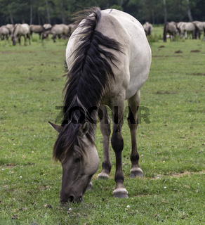 Friedlich grasend,wild lebende Pferde im Merfelder Bruch, Dülmen, Nordrhein-Westfalen, Juni,