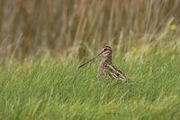 hidden in grass... Common Snipe *Gallinago gallinago*
