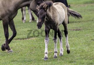 Fohlen, wild lebende Pferde im Merfelder Bruch, Dülmen, Nordrhein-Westfalen, Juni,