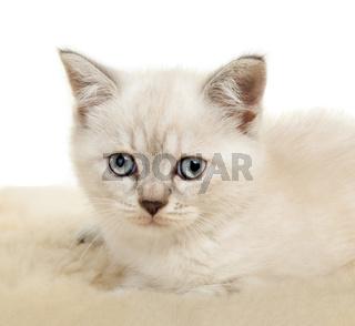 Portrait of British Shorthair Kitten sitting, color point color.