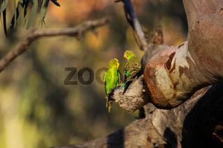 Couple of Budgerigars perching on a a branch in the afternoon light, KIngs Canyon, Northern Territor