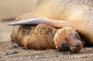 Young Galapagos sea lion lying with mother on Santiago Island, Galapagos National Park, Ecuador