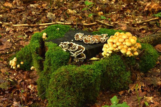mushrooms on mossy stump