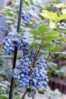 Fruit of a mahonia (Mahonia aquifolium)
