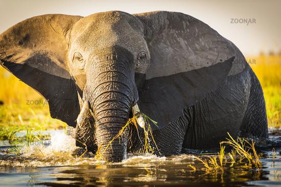African Elephants at Chobe National Park, Botsuana