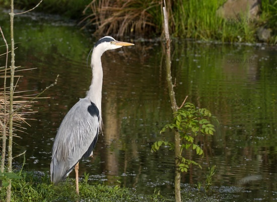 Grey Heron in the water 12