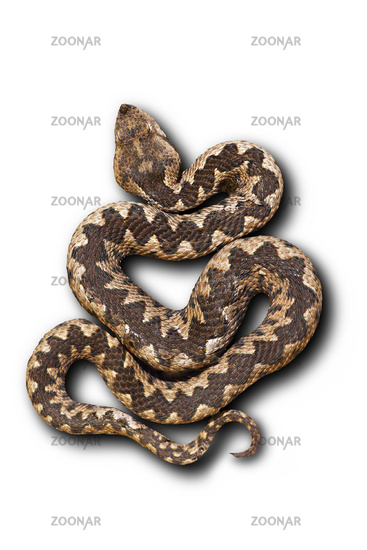 european nose horned viper on white background with shadow ( Vipera ammodytes )