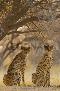 Geparden Paerchen (Acinonyx jubatus) am fruehen Morgen, Nxai Pan, Makgadikgadi Pans National Park, Botswana, Afrika, Couple of Cheetahs at morning light, Africa
