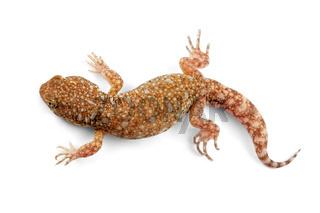 African barking gecko