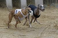 Greyhound racing, EM 2015 Hünstetten , Germany, Europe
