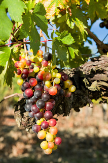 Closeup of sunny colored grapes before becoming red