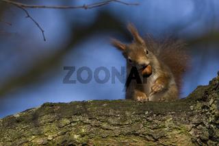 Europaeisches Eichhoernchen, Sciurus vulgaris, Eurasian red squirrel