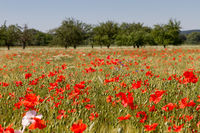 Poppies in cornfield 11