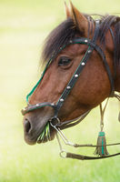 Portrait of a horse chewing grass