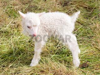 Little newborn lamb standing on the grass