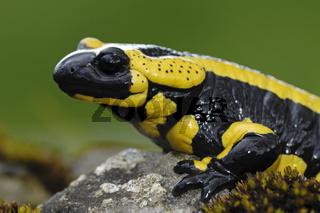 Feuersalamander, Portrait, Salamandra salamandra, Fire Salamander