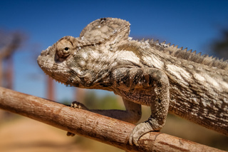 Chameleon and baobabs