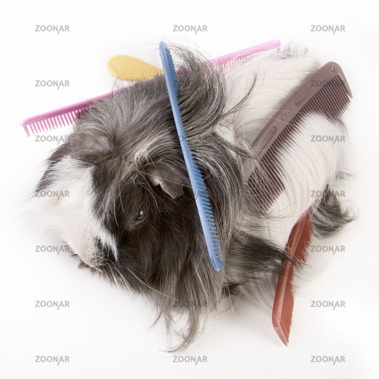 guinea pig with  combs
