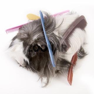 Meerschweinchen mit Kämme - guinea pig with  combs