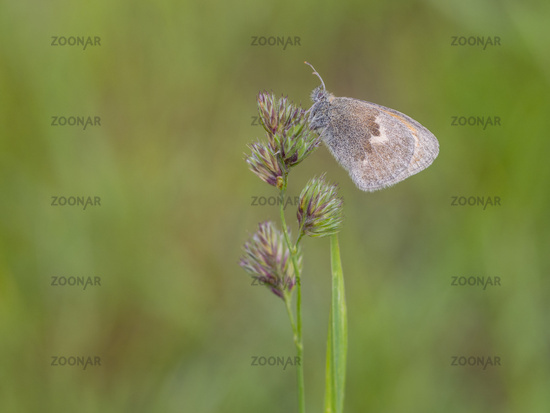 Small heath, Coenonympha pamphilus