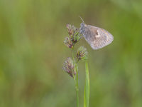 Small heath, Coenonympha pamphilus