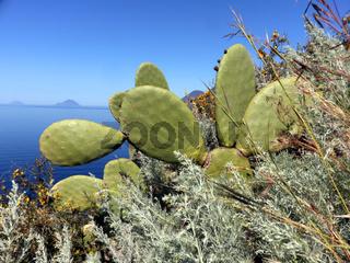 Feigenkaktus, Opuntia ficus-indica, Liparische Inseln, Italien
