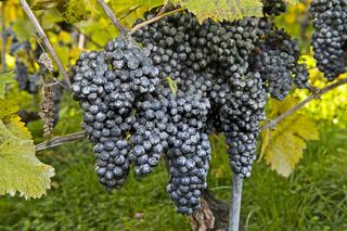 Kaolin-Belag auf Weintrauben als natürliches Schädlingsbekämpfungsmittel im Bio-Anbau, Schweiz
