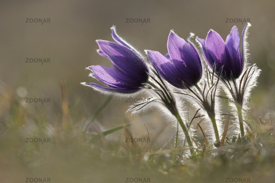 little group in backlight... Common Pasque Flowers *Pulsatilla vulgaris*