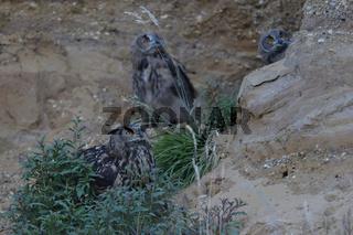 Überflug der Baumfalken... Europäischer Uhu *Bubo bubo*, Altvogel gemeinsam mit dem Nachwuchs