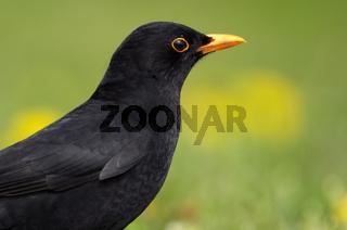Amsel, Turdus merula, Blackbird, Deutschland, Germany