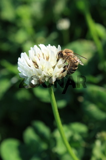 Kleeblüte mit Biene
