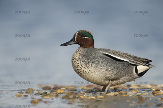 in wadden sea... Teal *Anas crecca*