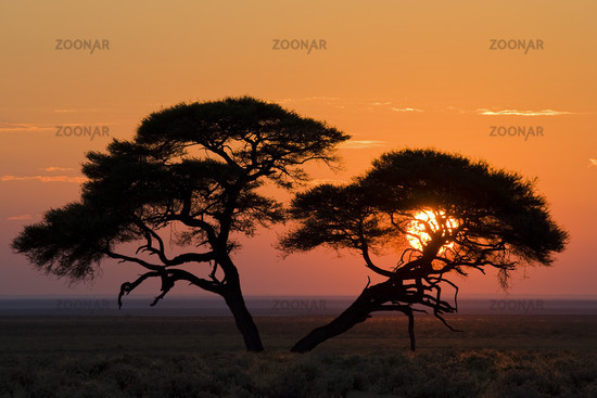 Umbrella Thorn Acacia at sunrise, Namibia, Africa