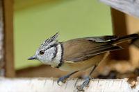 Haubenmeise im Vogelhaus