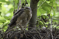 caring for its chicks... Eurasian Sparrowhawk *Accipiter nisus*