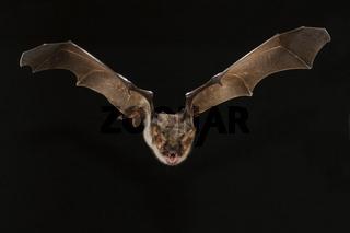 Grosses Mausohr (Myotis myotis), Greater Mouse-eared Bat