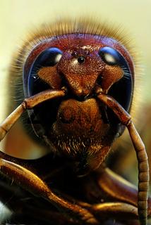 Portrait Hornisse, Vespa carbro, hornet portrait