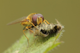 Schwebfliege (Syrphus sp.)