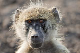 Steppenpaviane, Paviane (Papio cynocephalus), Chobe National Park, Botswana, Afrika, Yellow Baboon, Africa