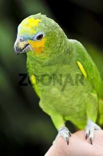Yellow-shouldered Amazon parrot
