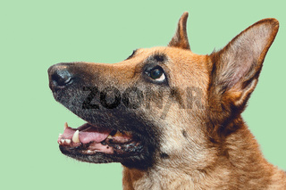 Head Shot of German Shepherd