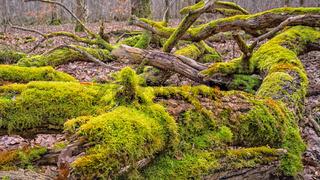 im Wald - Flechten auf alten Baumstämmen