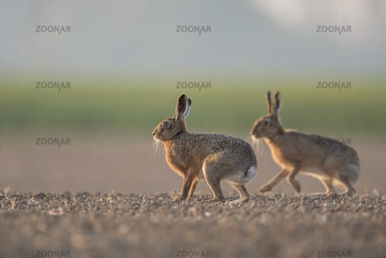 in spring... Brown Hares *Lepus europaeus*