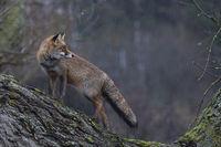 watching back... Red Fox *Vulpes vulpes*