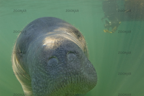 A manatee swimming near a boat propeller in Florida.