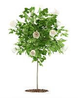white rose tree plant isolated on white background. 3d illustration