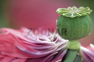 Poppy Flowers With Seedhead
