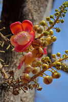 Couroupita guianensis, Cannon Ball Tree